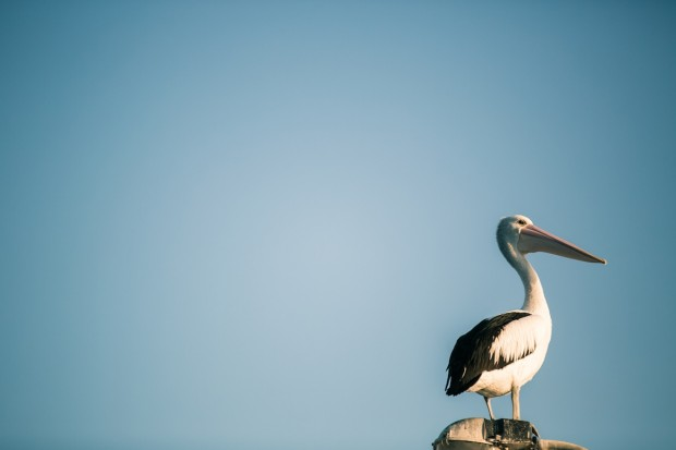 pelican at wedding